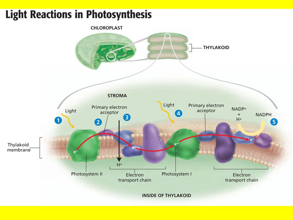 Photosystems II & I: Light Energy is absorbed by chlorophyll a molecules.