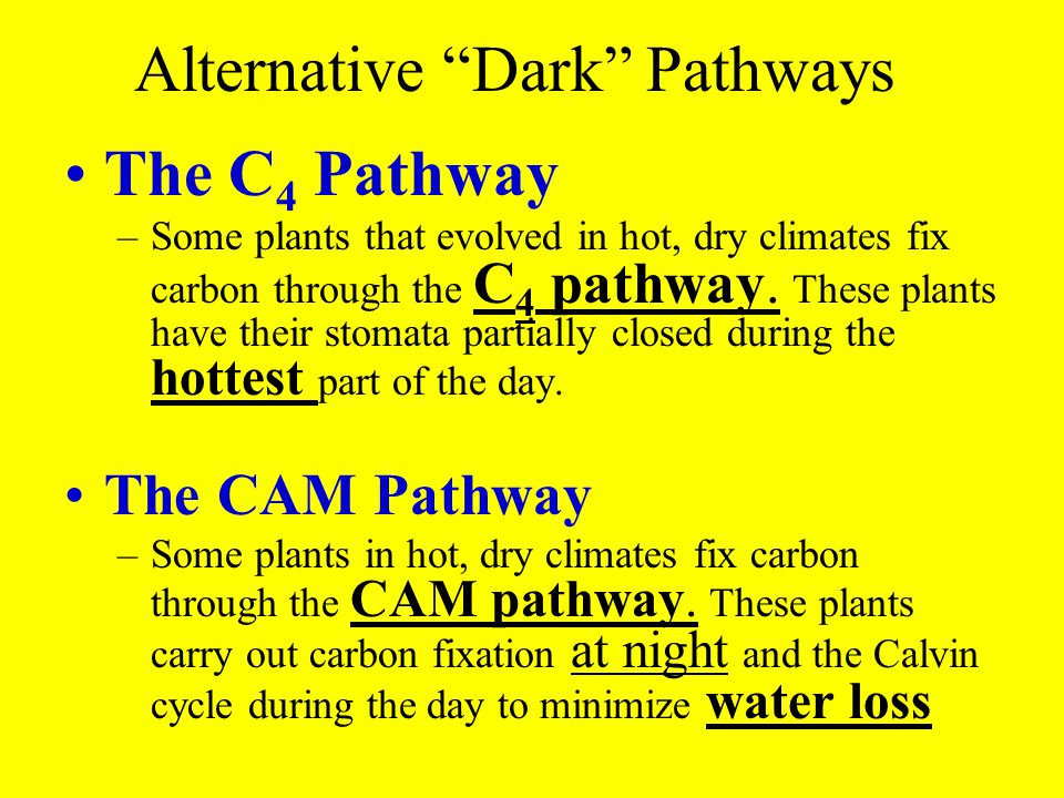 """Alternative """"Dark"""" Pathways The C 4 Pathway –Some plants that evolved in hot, dry climates fix carbon through the C 4 pathway. These plants have their"""