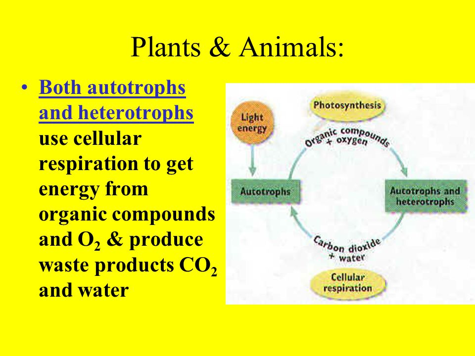 Cellular respiration can be divided into 2 stages: glycolysis aerobic respiration.