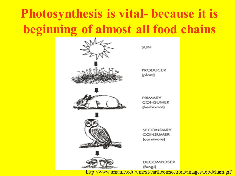 Photosynthesis is vital- because it is beginning of almost all food chains http://www.umaine.edu/umext/earthconnections/images/foodchain.gif