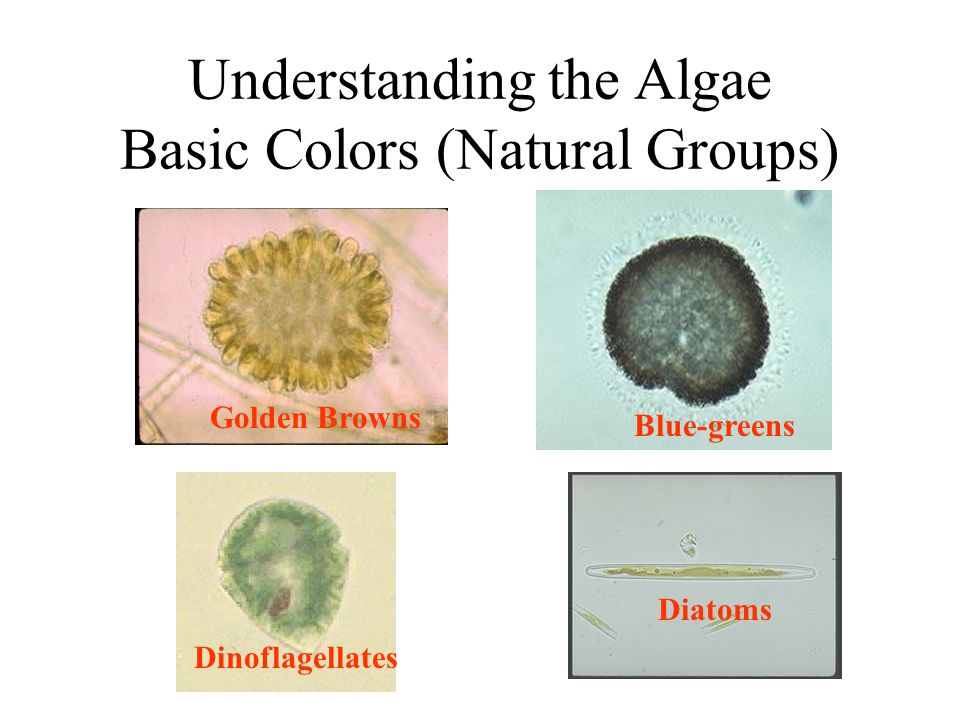 Understanding the Algae Basic Colors (Natural Groups) Golden Browns Dinoflagellates Blue-greens Diatoms