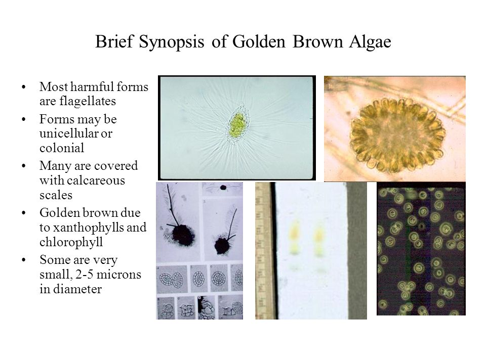 Brief Synopsis of Golden Brown Algae Most harmful forms are flagellates Forms may be unicellular or colonial Many are covered with calcareous scales G