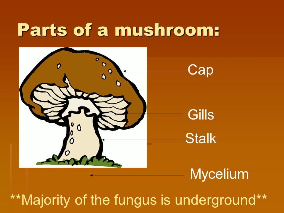 Parts of a mushroom: Cap Gills Stalk Mycelium **Majority of the fungus is underground**