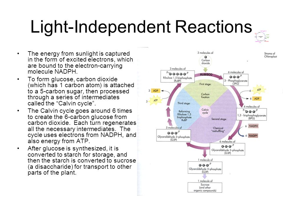 Light-Independent Reactions The energy from sunlight is captured in the form of excited electrons, which are bound to the electron-carrying molecule NADPH.