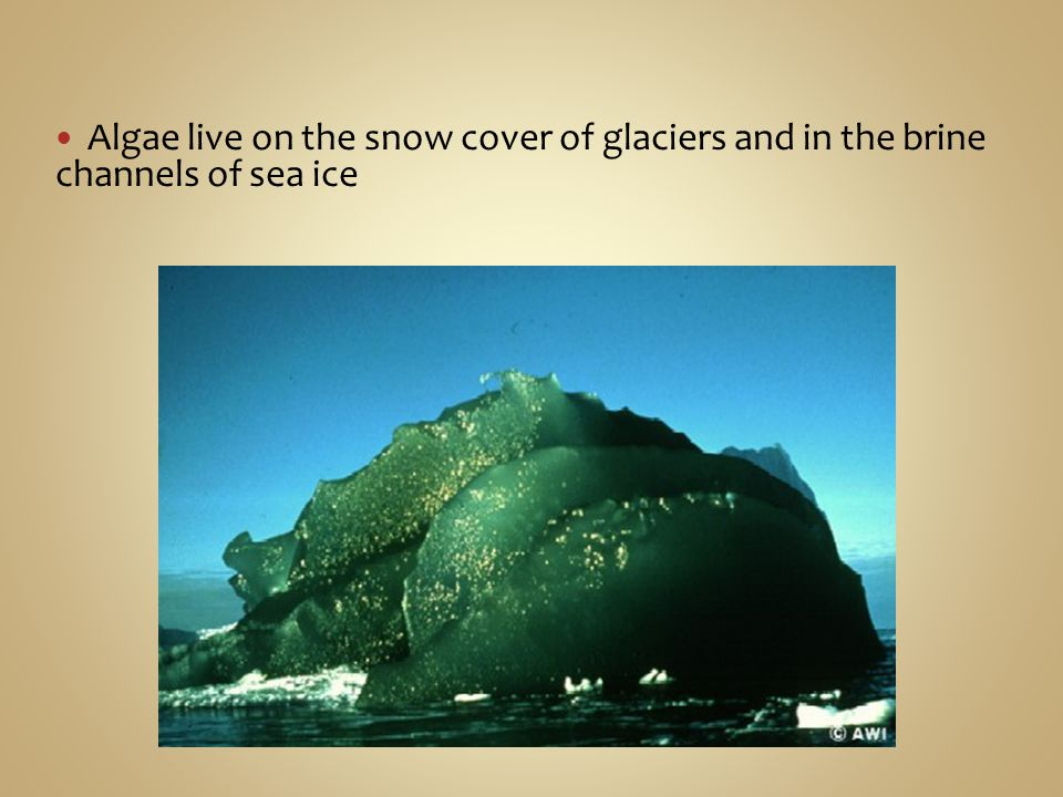 Algae live on the snow cover of glaciers and in the brine channels of sea ice