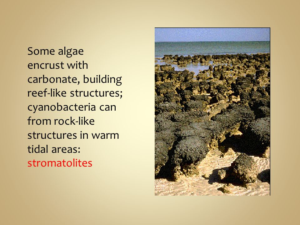 Some algae encrust with carbonate, building reef-like structures; cyanobacteria can from rock-like structures in warm tidal areas: stromatolites
