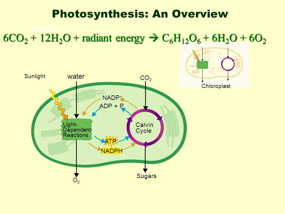 Structure of Chloroplast Light reactions Dark reactions