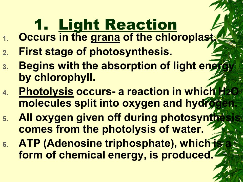 Chloroplast water O2O2 Sugars CO 2 Light- Dependent Reactions Calvin Cycle NADPH ATP ADP + P NADP + Sunlight Section 8-3 6CO 2 + 12H 2 O + radiant ene