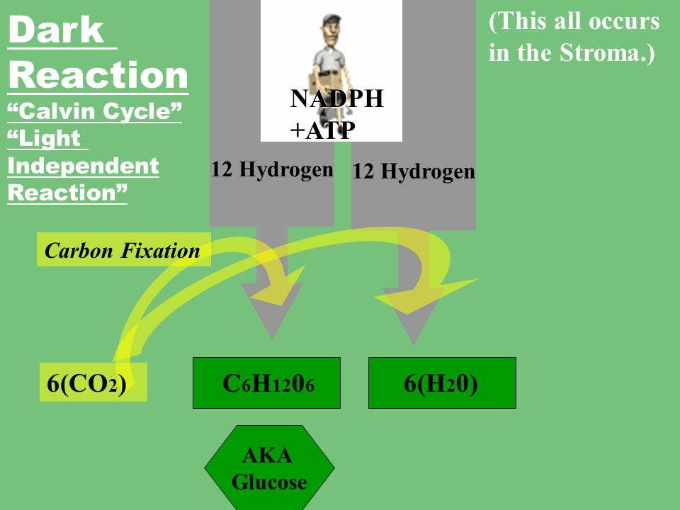 Chloroplast (H 2 O) Oxygen (6O 2 ) I am out of here! Light Reaction 12 WATE R molecules 12 WATE R molecules 12 Hydrogen (This all occurs In the Grana.