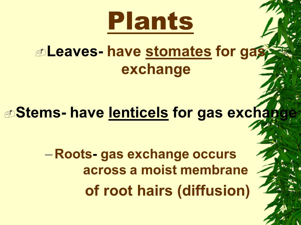 Adaptations for Photosynthesis B. Terrestrial Plants (land-dwelling) 1. Occurs in leaves that provide the maximum surface area for the absorption of l