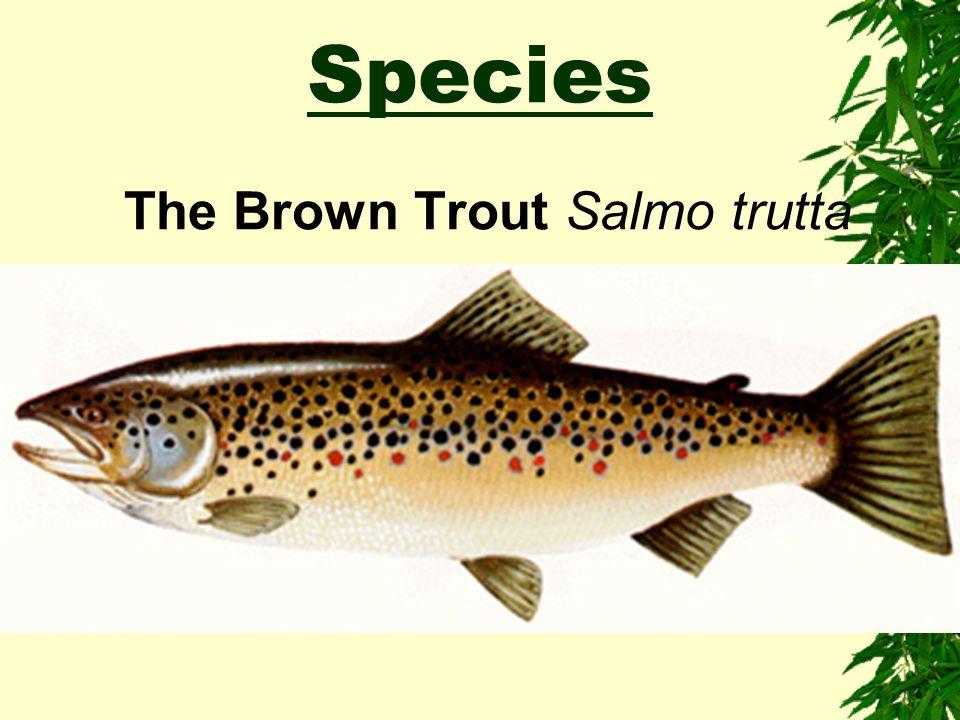 Species The Brown Trout Salmo trutta