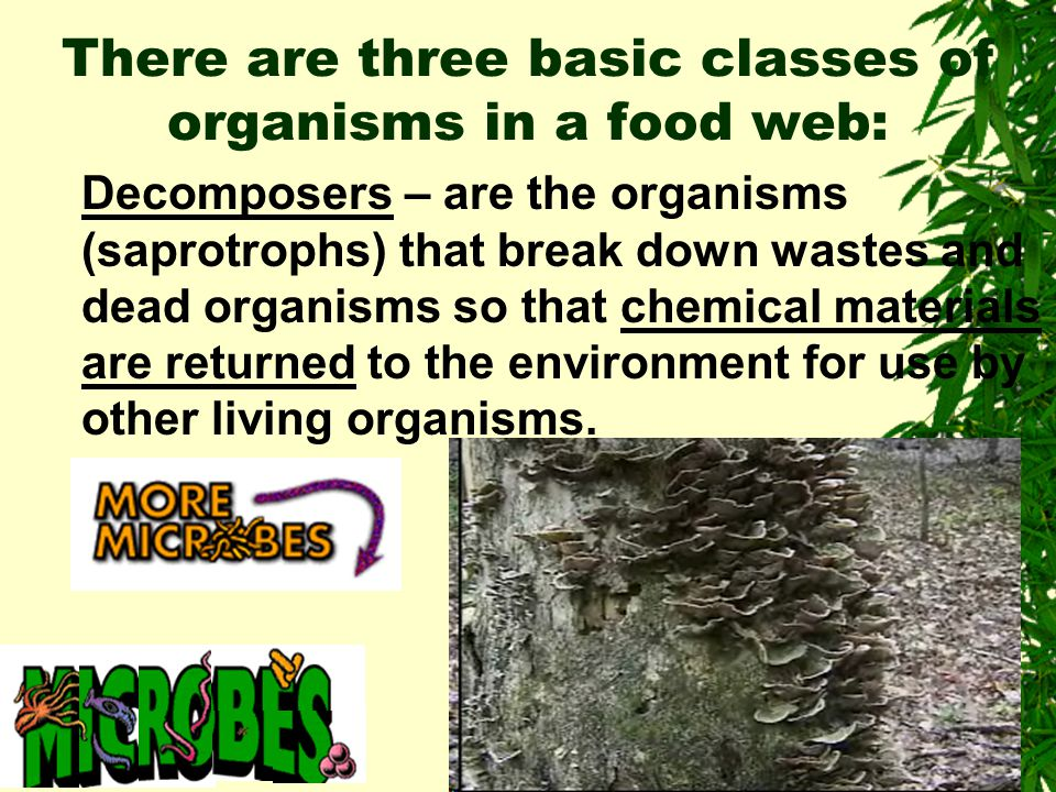 There are 3 basic organisms in a food web: 1. Consumers- include all heterotrophic organisms. Organisms that feed on green plants are primary consumer