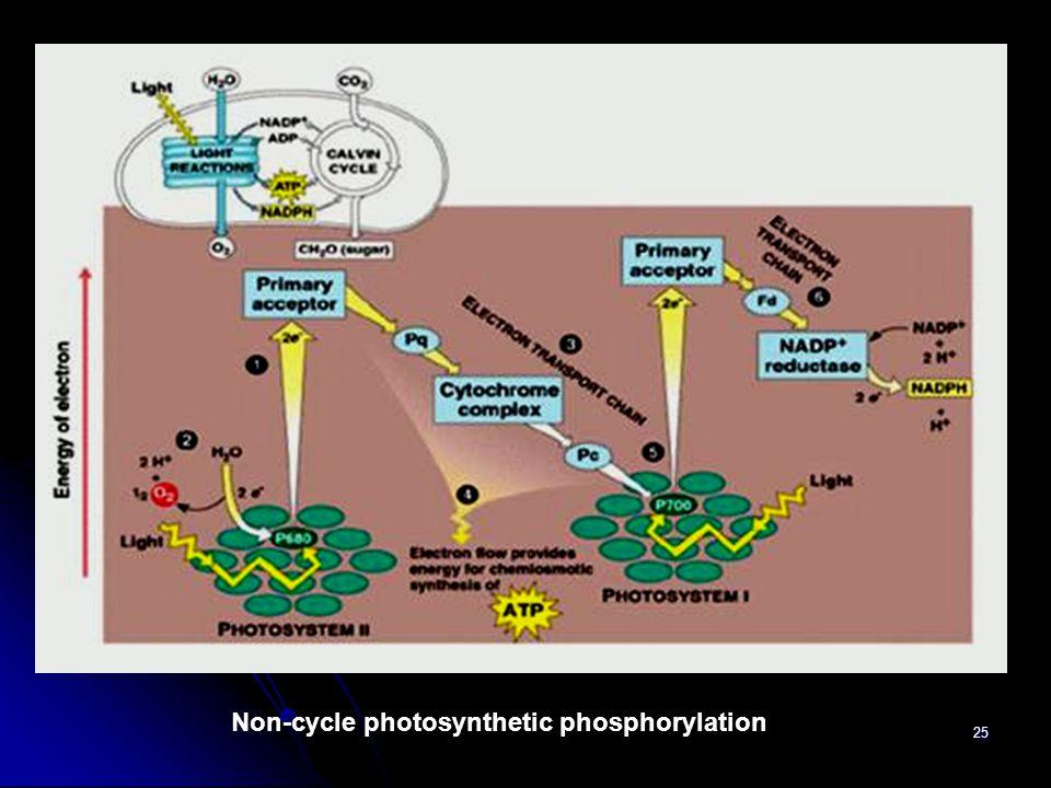25 Non-cycle photosynthetic phosphorylation