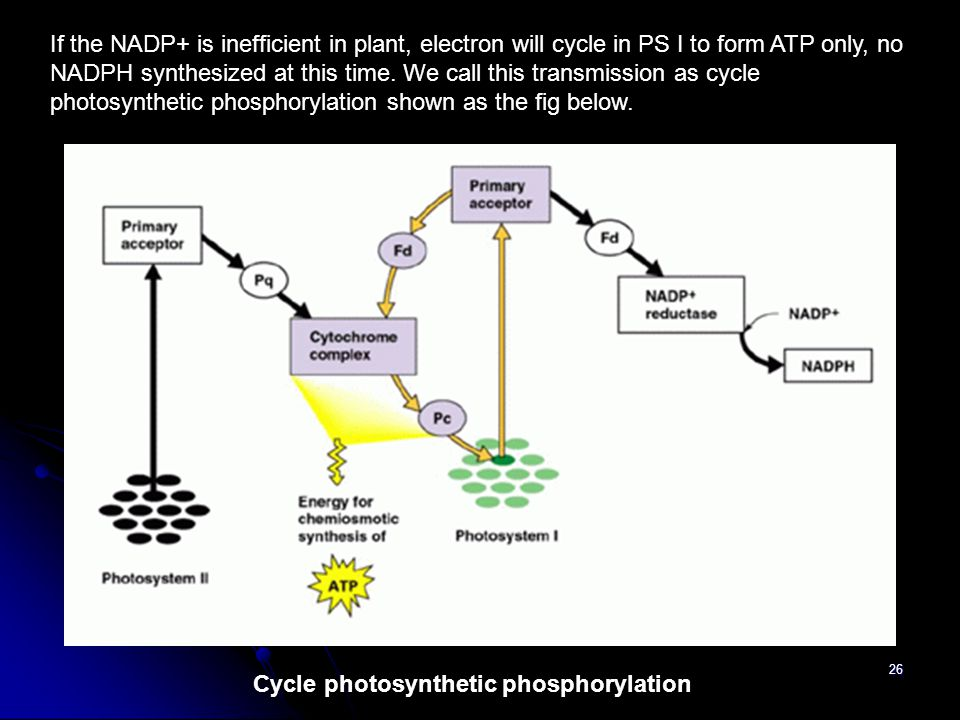 26 If the NADP+ is inefficient in plant, electron will cycle in PS I to form ATP only, no NADPH synthesized at this time. We call this transmission as