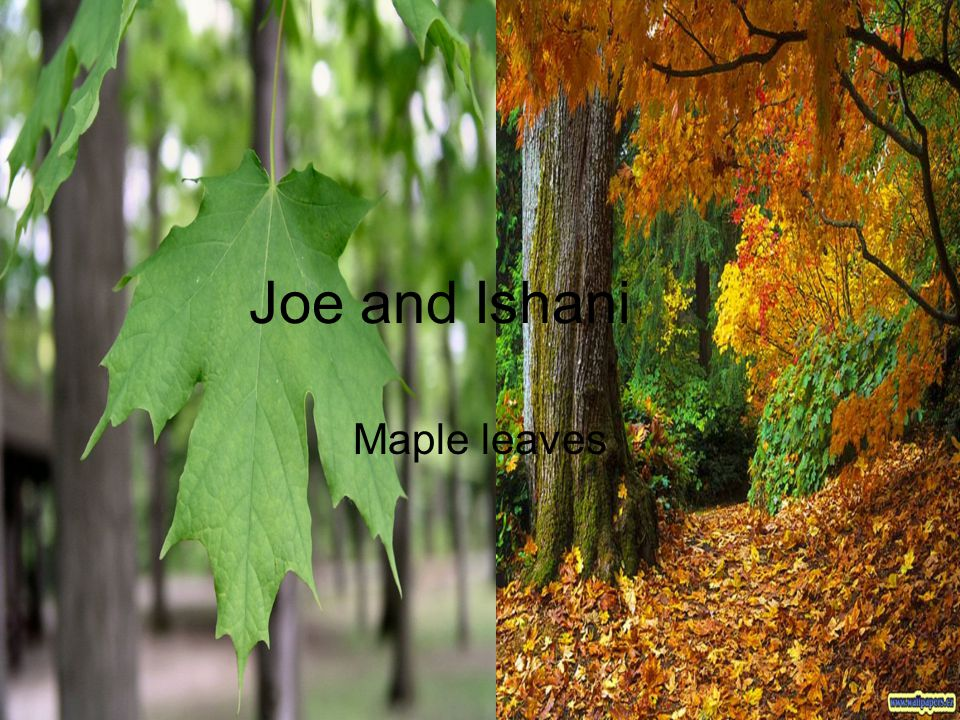 Joe and Ishani Maple leaves