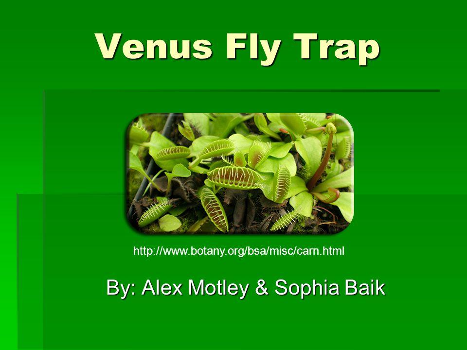 Venus Fly Trap By: Alex Motley & Sophia Baik http://www.botany.org/bsa/misc/carn.html