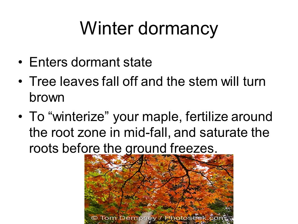 Winter dormancy Enters dormant state Tree leaves fall off and the stem will turn brown To winterize your maple, fertilize around the root zone in mid-fall, and saturate the roots before the ground freezes.