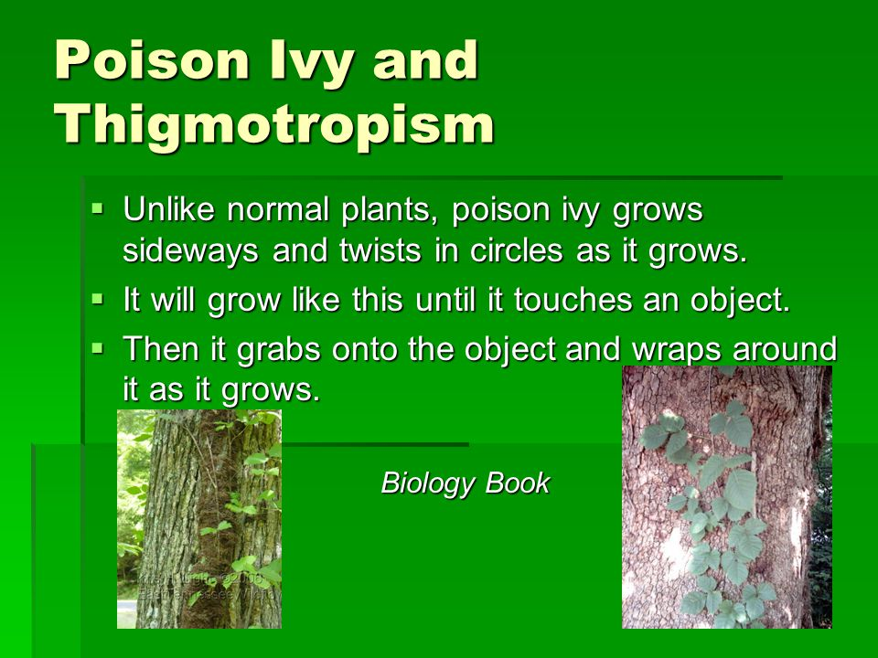 Poison Ivy and Thigmotropism  Unlike normal plants, poison ivy grows sideways and twists in circles as it grows.