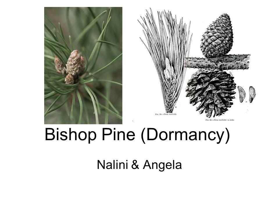 Dormancy Bishop Pines uses fire to regenerate itself.