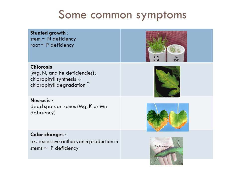 Some common symptoms Stunted growth : stem ~ N deficiency root ~ P deficiency Chlorosis (Mg, N, and Fe deficiencies) : chlorophyll synthesis  chlorophyll degradation  Necrosis : dead spots or zones (Mg, K or Mn deficiency) Color changes : ex.