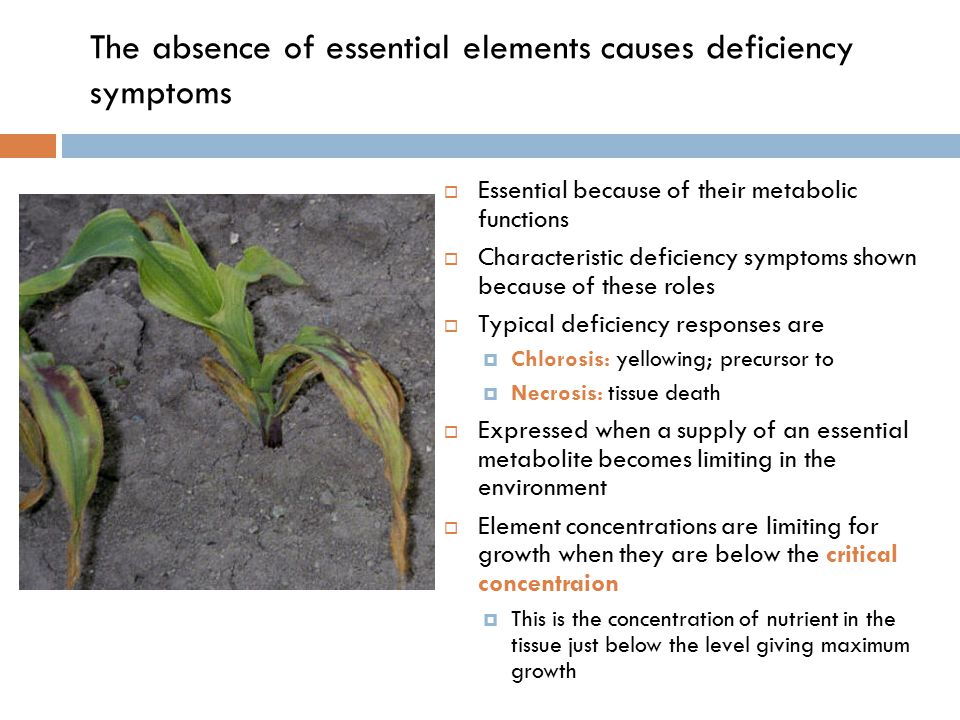 The absence of essential elements causes deficiency symptoms  Essential because of their metabolic functions  Characteristic deficiency symptoms shown because of these roles  Typical deficiency responses are  Chlorosis: yellowing; precursor to  Necrosis: tissue death  Expressed when a supply of an essential metabolite becomes limiting in the environment  Element concentrations are limiting for growth when they are below the critical concentraion  This is the concentration of nutrient in the tissue just below the level giving maximum growth