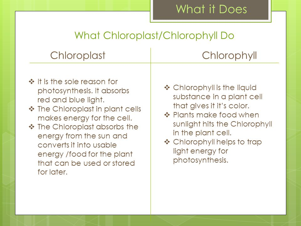 What Chloroplast/Chlorophyll Do ChloroplastChlorophyll  It is the sole reason for photosynthesis.