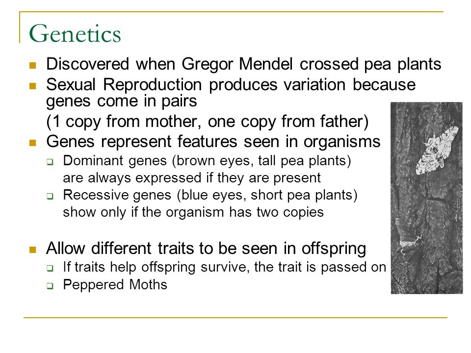 Genetics Discovered when Gregor Mendel crossed pea plants Sexual Reproduction produces variation because genes come in pairs (1 copy from mother, one