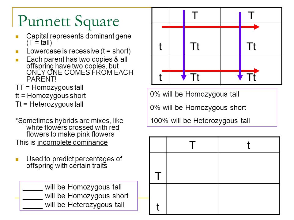 Punnett Square Capital represents dominant gene (T = tall) Lowercase is recessive (t = short) Each parent has two copies & all offspring have two copi