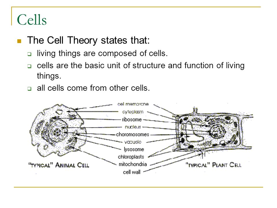 Types of Cells Prokaryotic  Simple; no nucleus or organelles  Bacteria Eukaryotic  Larger, more complex  Many organelles  Found in Animals, Plants, Fungi, & Protists  These are the cells you think of