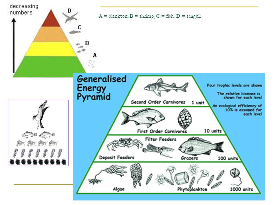 A = plankton, B = shrimp, C = fish, D = seagull