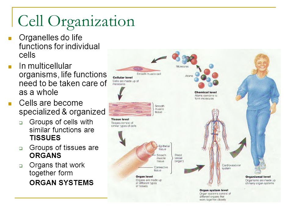 Body Systems Digestive  Break down food Endocrine  Chemical signals through hormones Nervous  Electrical signals Immune  Fight disease & infection Circulatory  Transport food & wastes