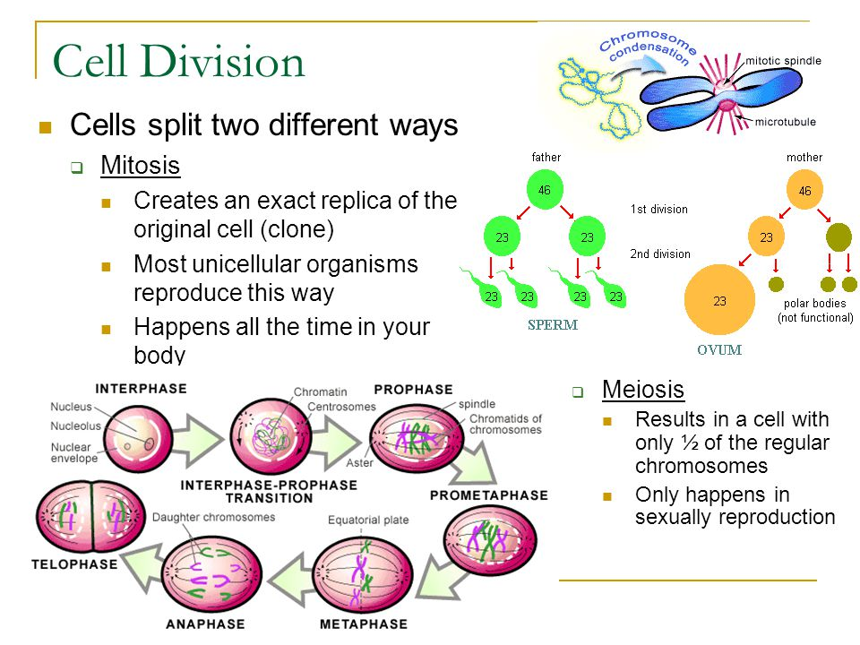 Cell Division Cells split two different ways  Mitosis Creates an exact replica of the original cell (clone) Most unicellular organisms reproduce this