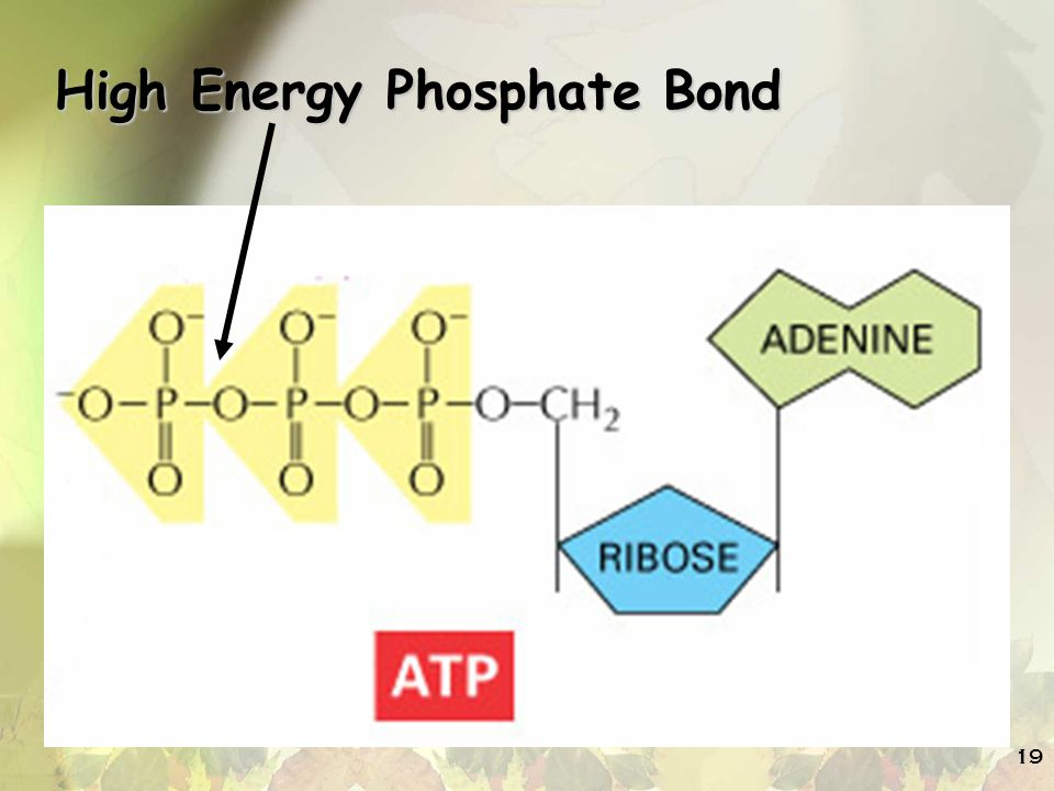19 High Energy Phosphate Bond