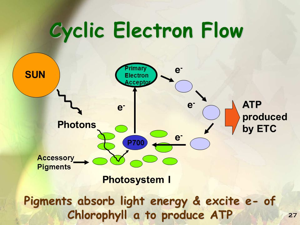 27 Cyclic Electron Flow P700 Primary Electron Acceptor e-e- e-e- e-e- e-e- ATP produced by ETC Photosystem I Accessory Pigments SUN Photons Pigments absorb light energy & excite e- of Chlorophyll a to produce ATP