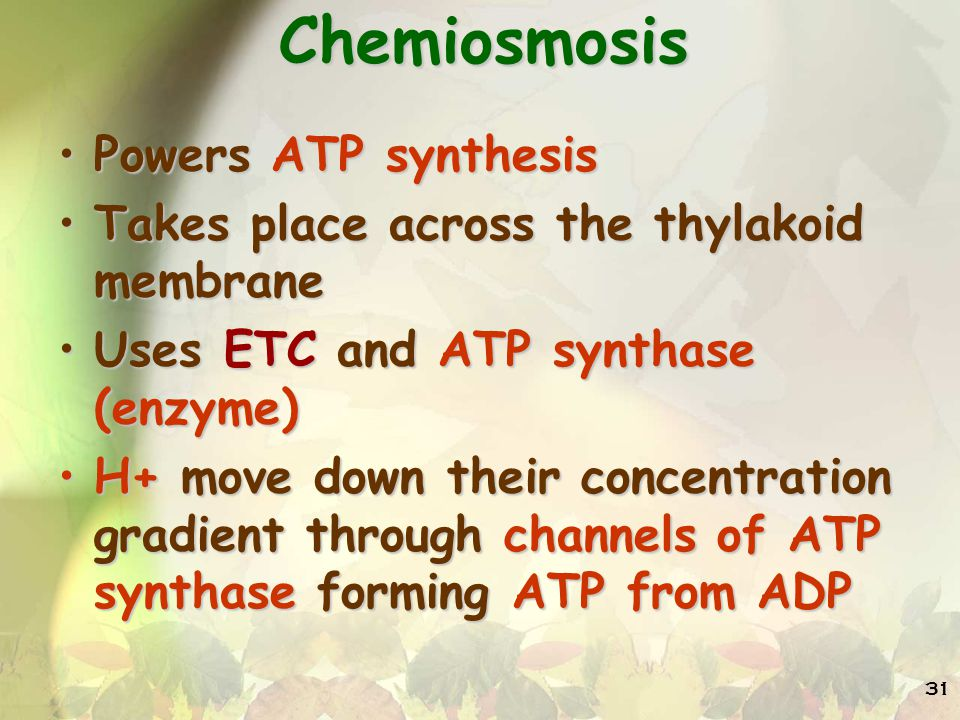 31 Chemiosmosis Powers ATP synthesisPowers ATP synthesis Takes place across the thylakoid membraneTakes place across the thylakoid membrane Uses ETC and ATP synthase (enzyme)Uses ETC and ATP synthase (enzyme) H+ move down their concentration gradient through channels of ATP synthase forming ATP from ADPH+ move down their concentration gradient through channels of ATP synthase forming ATP from ADP