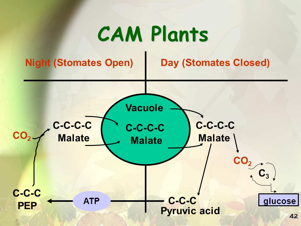 42 CAM Plants Night (Stomates Open)Day (Stomates Closed) Vacuole C-C-C-C Malate C-C-C-C Malate C-C-C-C CO 2 C3C3 C-C-C Pyruvic acid ATP C-C-C PEP glucose