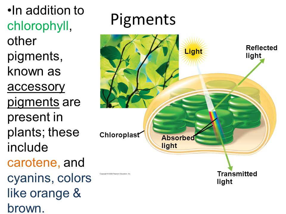 Pigments Light Chloroplast Absorbed light Transmitted light Reflected light In addition to chlorophyll, other pigments, known as accessory pigments are present in plants; these include carotene, and cyanins, colors like orange & brown.
