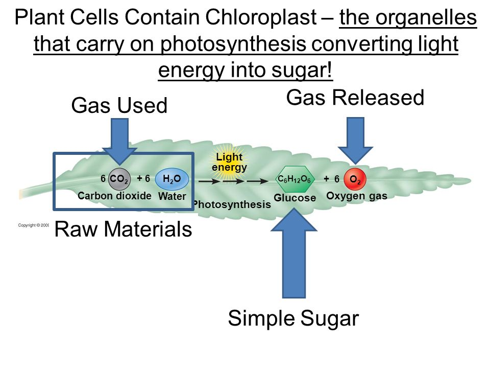 Photosynthesis Chloroplasts are concentrated in mesophyll, the green tissue in the interior of a leaf Membranes in the chloroplast form the framework where many of the reactions of photosynthesis occur