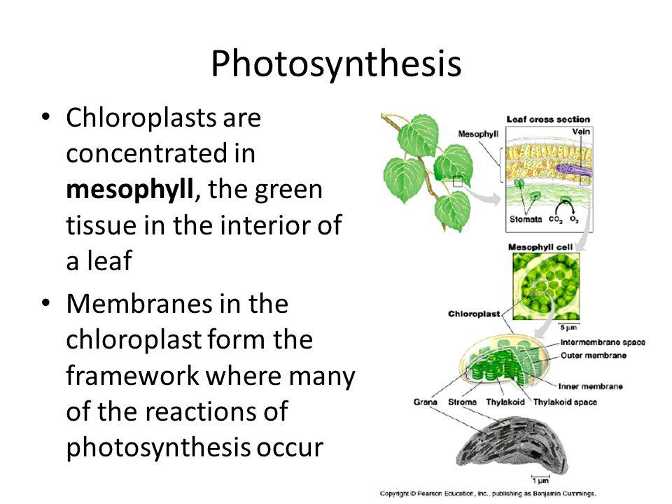 Fig. 7-2a CO 2 O2O2 Stoma Mesophyll Cell Vein Chloroplast Mesophyll Leaf Cross Section Leaf