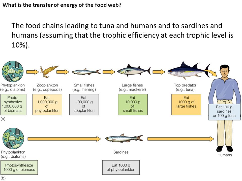 The food chains leading to tuna and humans and to sardines and humans (assuming that the trophic efficiency at each trophic level is 10%).