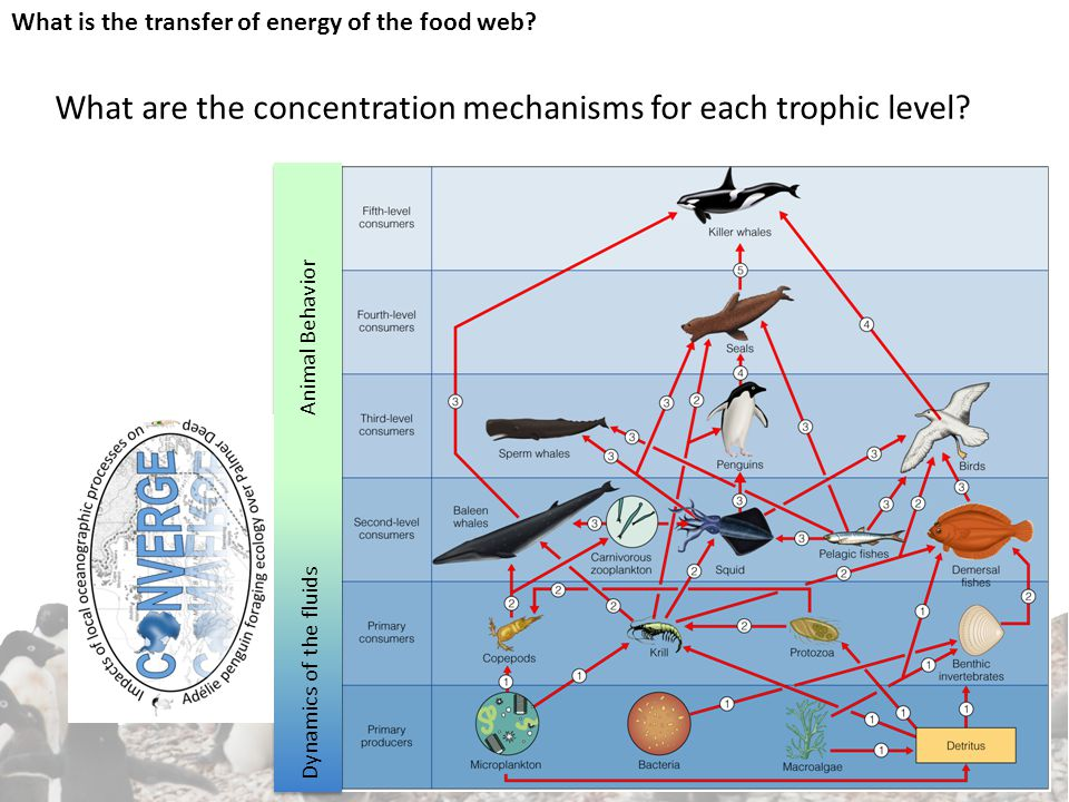 What is the transfer of energy of the food web.