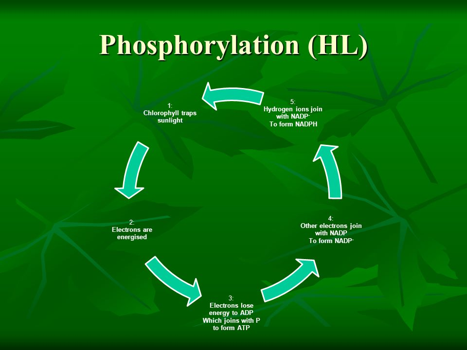 Phosphorylation (HL)