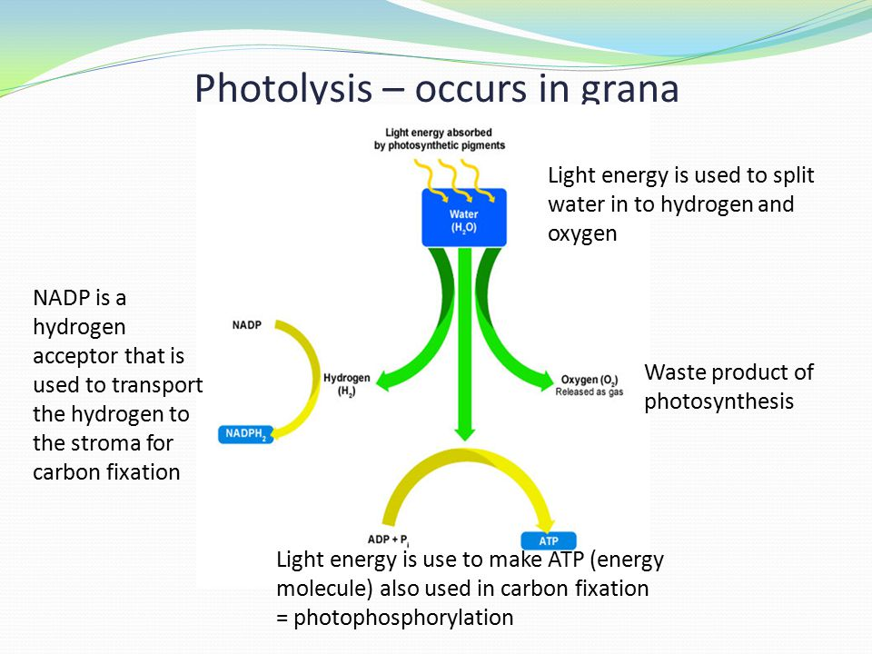 Photolysis – occurs in grana Waste product of photosynthesis NADP is a hydrogen acceptor that is used to transport the hydrogen to the stroma for carbon fixation Light energy is use to make ATP (energy molecule) also used in carbon fixation = photophosphorylation Light energy is used to split water in to hydrogen and oxygen