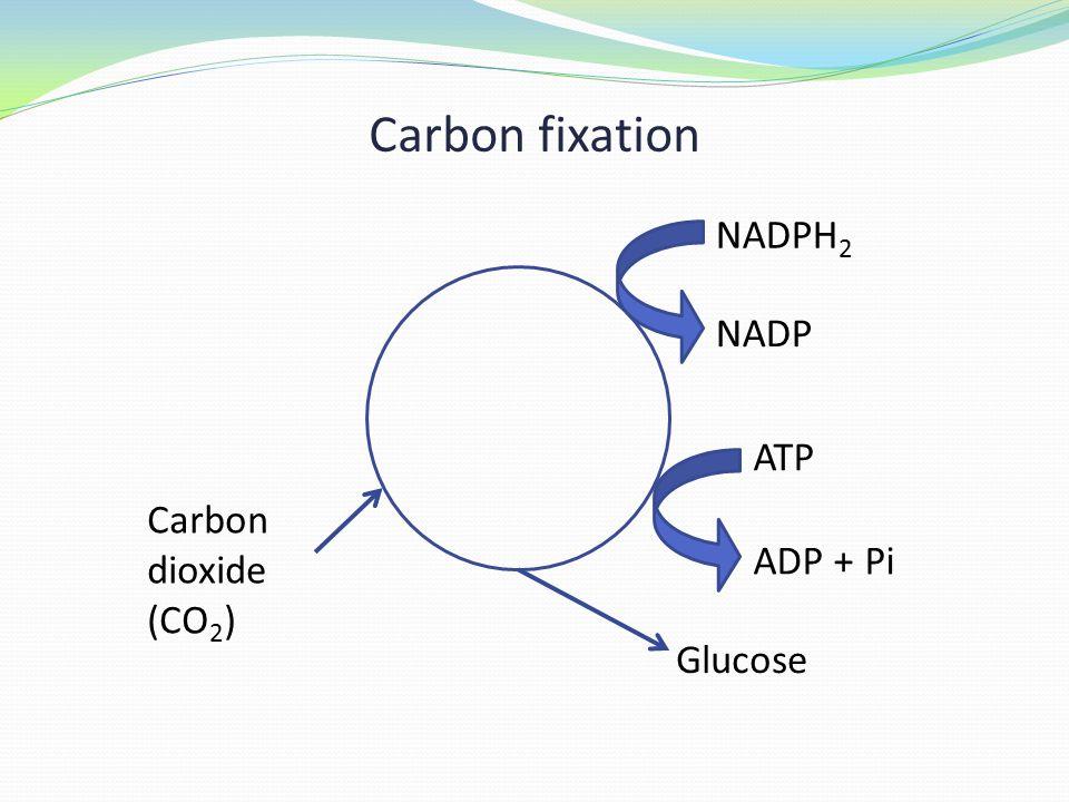 Carbon fixation Carbon dioxide (CO 2 ) NADPH 2 NADP ATP ADP + Pi Glucose