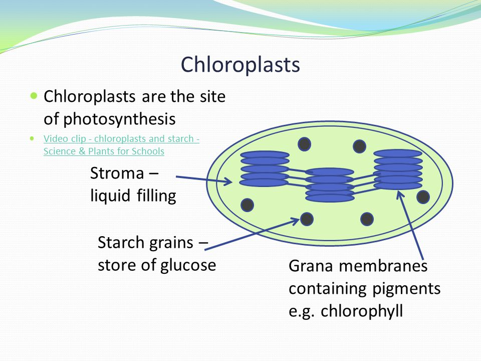 Chloroplasts Chloroplasts are the site of photosynthesis Video clip - chloroplasts and starch - Science & Plants for Schools Video clip - chloroplasts and starch - Science & Plants for Schools Stroma – liquid filling Grana membranes containing pigments e.g.