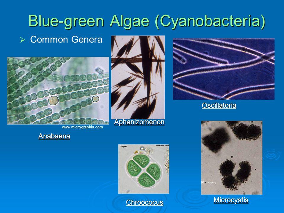 Blue-green Algae (Cyanobacteria)   Common Genera Anabaena Aphanizomenon Oscillatoria Microcystis Chroococus www.micrographia.com