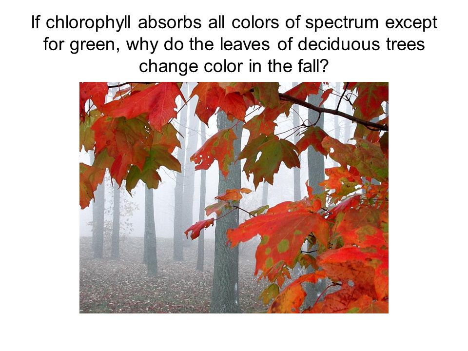 If chlorophyll absorbs all colors of spectrum except for green, why do the leaves of deciduous trees change color in the fall?