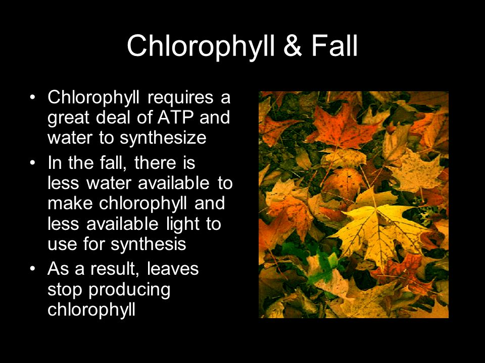 Chlorophyll & Fall Chlorophyll requires a great deal of ATP and water to synthesize In the fall, there is less water available to make chlorophyll and