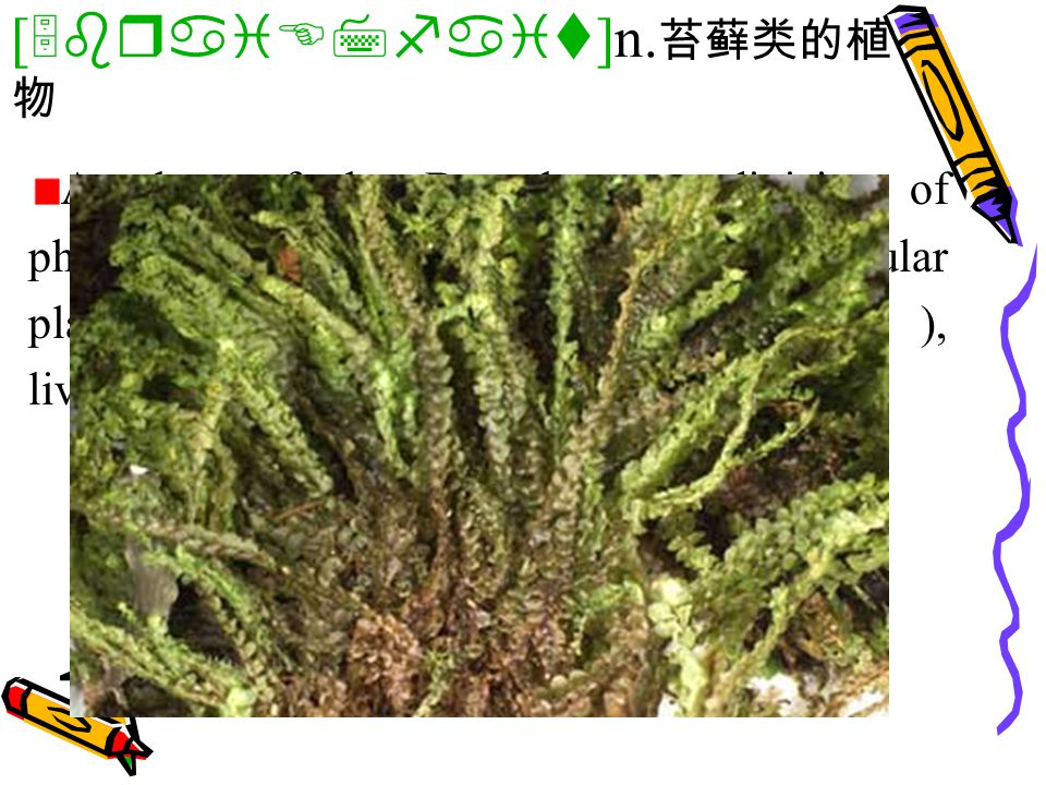 A plant of the Bryophyta, a division of photosynthetic, chiefly terrestrial, nonvascular plants, including the mosses( 苔藓 ), liverworts( 地钱 ), and hornworts( 金鱼藻 ).