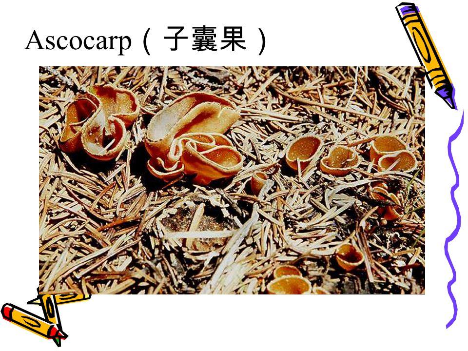 Ascocarp (子囊果)